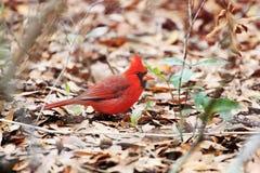 Loking cardinal à vous Image stock