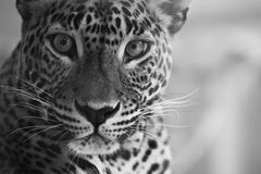 Lokk do leopardo foto de stock