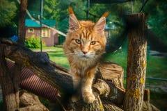 lokking在夏天街道上的大红色缅因树狸猫 库存图片