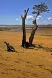 Lokobe Baum in Madagaskar Stockfotos