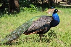 Lokrum Island. peafowl Royalty Free Stock Photo