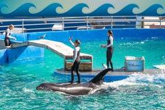 Lolita, η φάλαινα δολοφόνων στο Μαϊάμι Seaquarium Στοκ εικόνα με δικαίωμα ελεύθερης χρήσης