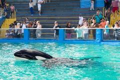 Lolita, η φάλαινα δολοφόνων στο Μαϊάμι Seaquarium Στοκ Εικόνες