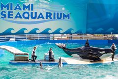 Lolita, a baleia de assassino no Miami Seaquarium Fotos de Stock