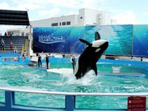 Lolita the Killer Whale showing off Stock Photos