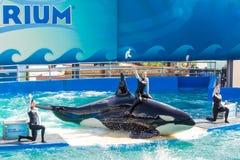 Lolita,the killer whale at the Miami Seaquarium Royalty Free Stock Images