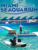 Lolita,the killer whale at the Miami Seaquarium Royalty Free Stock Photos