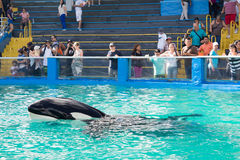 Lolita,the killer whale at the Miami Seaquarium Stock Photo
