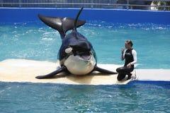Lolita la balena di assassino Fotografia Stock Libera da Diritti