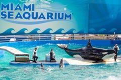 Lolita späckhuggaren på Miami Seaquarium Arkivfoton