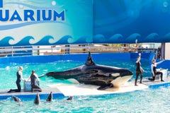 Lolita zabójcy wieloryb przy Miami Seaquarium obrazy royalty free