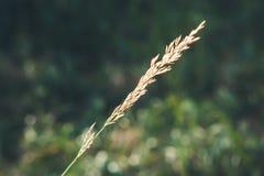 Loliumgräs i ` Ampezzo, Dolomites, Italien för Cortina D Fotografering för Bildbyråer
