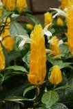 Lollipop flowers. Tropical plants / Lollipop flowers / Pachystachys lutea stock image