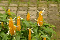 Lollipop Plant (Pachystachys lutea) Royalty Free Stock Images
