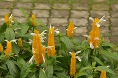 Lollipop Plant (Pachystachys lutea) Stock Photo