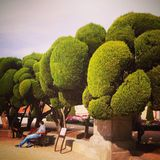 Lollipop topiary trees Royalty Free Stock Photo
