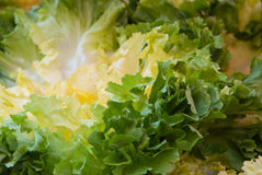 Lollo bianca lettuce Royalty Free Stock Images
