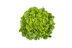 Lollo bianco lettuce Stock Photography