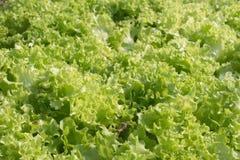 Lollo Bionda Lettuce Royaltyfria Bilder