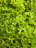 Lollo bionda lettuce background Royalty Free Stock Images