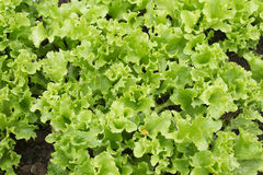 Lollo Bionda Lettuce. Close-up of Lollo Bionda Letuce in an organic garden Royalty Free Stock Photography