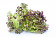 Lollo Rossa, lettuce isolated on white background Royalty Free Stock Image