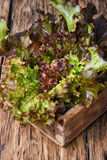 Lollo Rossa salad Royalty Free Stock Images