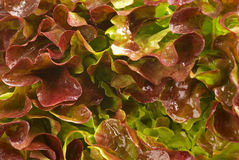 Lollo rosso. Lettuce closeup, a food background Royalty Free Stock Photo