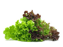 Lollo rosso and batavia lettuce Royalty Free Stock Image