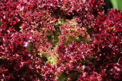 Lollo Rosso. Fresh Lollo Rosso Lettuce closeup Stock Photo