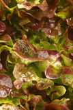 Lollo rosso lettuce stock photos