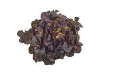 Lollo rosso lettuce Stock Image