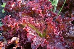 Lollo rosso lettuce. In the garden Stock Photos