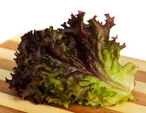 Lollo Rosso lettuce Royalty Free Stock Image