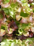 Lollo rosso lettuce. Close-up photo of lollo rosso lettuce Royalty Free Stock Photo