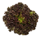 Lollo Rosso lettuce from above over white. Lollo Rosso lettuce from above  over white. A summer crisp variety of Lactuca sativa. Red loose leaf type salad head Stock Images