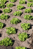 Lollo Rosso lettuce in field Royalty Free Stock Photography