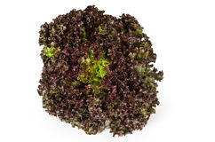Lollo Rosso lettuce front view over white. Lollo Rosso lettuce front view on white background. A summer crisp variety of Lactuca sativa. Red loose leaf type Stock Photography