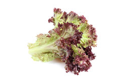 Lollo Rosso lettuce Stock Photo
