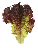 Lollo Rosso lettuce. Leaf isolated on white background close-up stock images