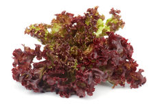 Lollo Rosso Lettuce. Leafs of Ripe Lollo Rosso Lettuce isolated on white background Stock Images