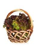 Lollo Rosso lettuce Royalty Free Stock Photo