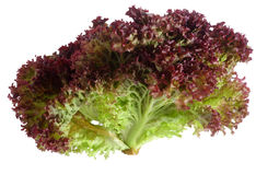 Lollo Rosso lettuce over white. A lollo rosso lettuce isolated against a white background Stock Photos