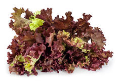 Lollo Rosso Lettuce. Red Leaf Lettuce with water drops, isolated on white. Lollo rosso (Lactuca sativa) is a colorful loose-leaf lettuce with dark, reddish Royalty Free Stock Photos