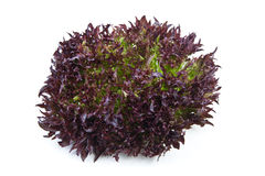 Lollo rosso lettuce on white. Picture of a lollo rosso lettuce on white background Royalty Free Stock Photos