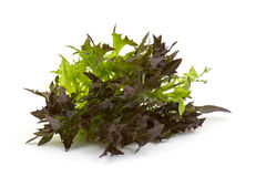 Lollo rosso lettuce Royalty Free Stock Images