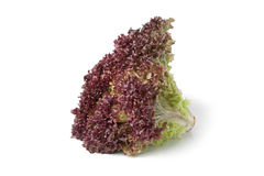 Lollo Rosso lettuce. On white background Stock Images