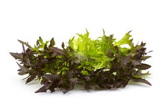 Lollo rosso lettuce on white Stock Photography