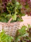 Lollo rosso salad Stock Photo