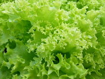 Lollo Verde莴苣-绿色卷曲莴苣细节  库存照片